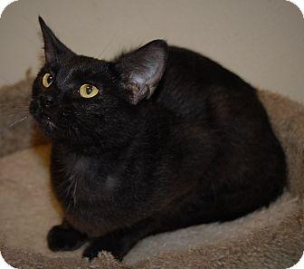 Domestic Shorthair Cat for adoption in Wilmington, Ohio - Panzee