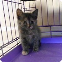 Domestic Shorthair Kitten for adoption in Duncan, Oklahoma - ADELINE
