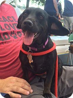 Dachshund/Feist Mix Dog for adoption in Hayes, Virginia - Sarah