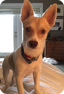 Chihuahua/Corgi Mix Dog for adoption in Pottstown, Pennsylvania - Cody