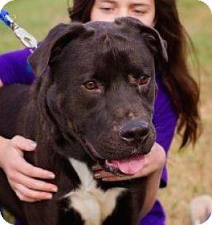 Pit Bull Terrier/Labrador Retriever Mix Dog for adoption in Springfield, Missouri - Dallas
