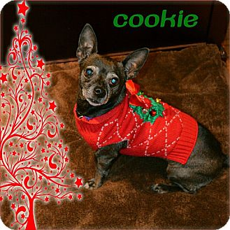 Dachshund/Chihuahua Mix Dog for adoption in Santa Clara, California - Cookie