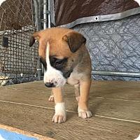 Adopt A Pet :: Bambi - Ruston, LA