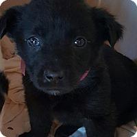 Adopt A Pet :: Aussie Shepherd mix female - Mary Esther, FL