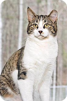 Domestic Shorthair Kitten for adoption in Cashiers, North Carolina - Darcy