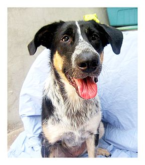 Australian Cattle Dog/German Shepherd Dog Mix Dog for adoption in El Cajon, California - FLOWER
