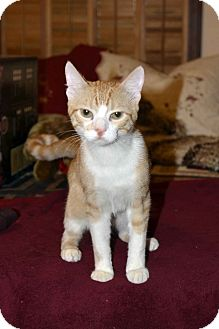 American Shorthair Cat for adoption in Clinton, Louisiana - George