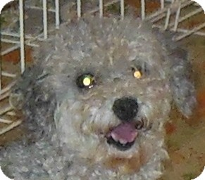 Poodle (Miniature) Dog for adoption in MINNEAPOLIS, Kansas - Kari