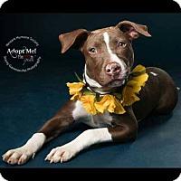 Adopt A Pet :: Piper - Park Ridge, NJ