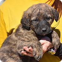 Adopt A Pet :: Grisham - Charlemont, MA