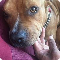 Adopt A Pet :: Rosie - Cerritos, CA