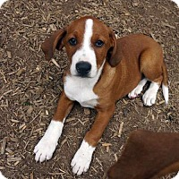 Adopt A Pet :: Mickey - Sudbury, MA