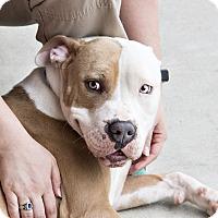 Adopt A Pet :: Praline - Windsor, VA