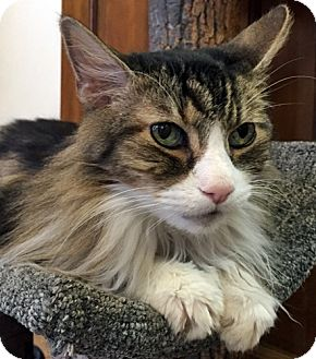 Maine Coon Cat for adoption in Santa Fe, New Mexico - Sox