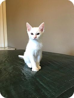 Domestic Mediumhair Kitten for adoption in Hammond, Louisiana - Heaven