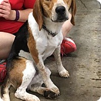 Adopt A Pet :: COPPER - Cadiz, OH