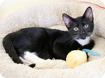 Domestic Shorthair Kitten for adoption in Mission Viejo, California - Venus