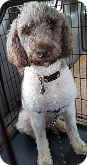 Labradoodle Mix Dog for adoption in Alpharetta, Georgia - Havana