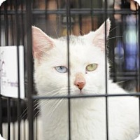 Siamese Cat for adoption in NYC, New York - Nina Blue Green White