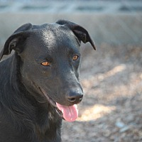 Labrador Retriever/Collie Mix Dog for adoption in Jewett City, Connecticut - Idaho