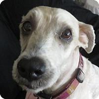 Adopt A Pet :: Wheatie ~ ACA Registered - St Petersburg, FL