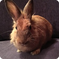 Lionhead for adoption in Miami, Florida - Blythe