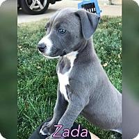 American Bulldog Mix Puppy for adoption in Denver, Colorado - Zada