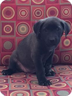 Chow Chow/Labrador Retriever Mix Puppy for adoption in Powder Springs, Georgia - Floy