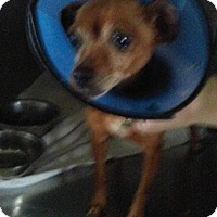 Chihuahua Dog for adoption in cleveland, Ohio - Tiny