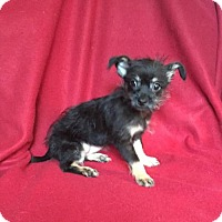 Yorkie, Yorkshire Terrier/Chihuahua Mix Puppy for adoption in Brighton, Tennessee - Vanessa (GAPR/TN foster)