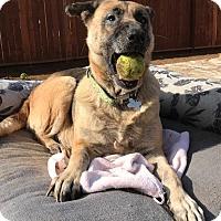 Adopt A Pet :: GEMMA - Studio City, CA