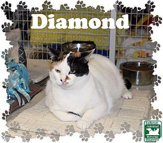 Domestic Shorthair Cat for adoption in Fallston, Maryland - Diamond