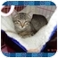 Photo 2 - Domestic Shorthair Kitten for adoption in KANSAS, Missouri - Bugsy