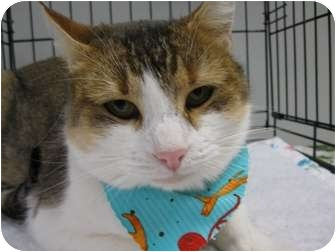 American Shorthair Cat for adoption in Brea, California - Ginger
