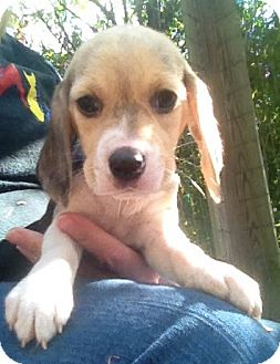 Beagle Mix Puppy for adoption in Richmond, Virginia - Lucy
