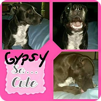 Labrador Retriever Mix Dog for adoption in Phoenix, Arizona - Gypsy