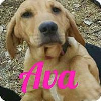 Adopt A Pet :: Ava Gardner - Georgetown, KY