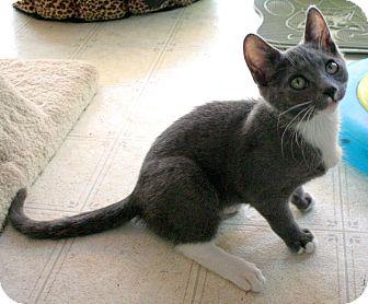 Domestic Shorthair Kitten for adoption in Sherman Oaks, California - Bonnie