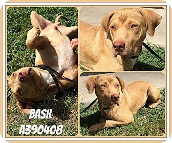 Labrador Retriever Mix Dog for adoption in Brattleboro, Vermont - Basil