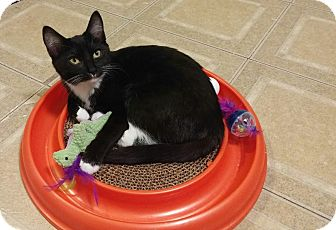 Domestic Shorthair Kitten for adoption in Knoxville, Tennessee - Buttercup