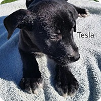 Adopt A Pet :: Tesla - Laingsburg, MI