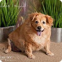 Adopt A Pet :: Goldie - Glendale, AZ