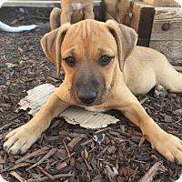 Adopt A Pet :: Poko - Denver, CO