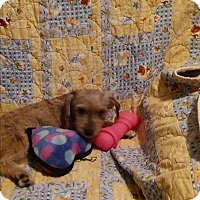 Terrier (Unknown Type, Medium) Mix Puppy for adoption in Hainesville, Illinois - Maylee
