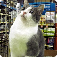 Domestic Shorthair Cat for adoption in Overland Park, Kansas - Freckles