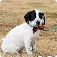 Pointer Mix Puppy for adoption in Glastonbury, Connecticut - Cleveland