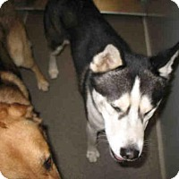 Siberian Husky Dog for adoption in Lathrop, California - FLASH