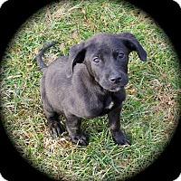 Adopt A Pet :: Ruckus - Ijamsville, MD