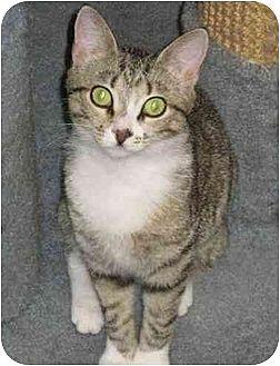 Domestic Shorthair Cat for adoption in Bloomsburg, Pennsylvania - Bobbi