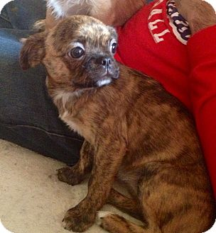 Pug/Japanese Chin Mix Puppy for adoption in waterbury, Connecticut ...
